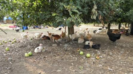 Színes csirkékről álmodtak…