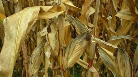 Akár 30 százalékkal gyengébb lehet a kukoricatermés