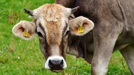Kevesebb élőmarhát vittek a törökök