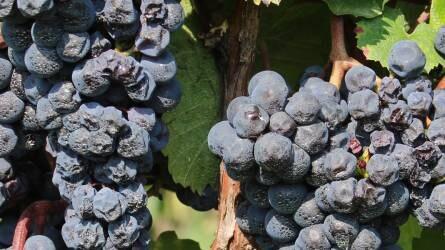 Lehetőségek és útvesztők a szőlőültetvények tápanyag-gazdálkodásában