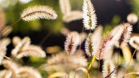 Ismerjük fel a gyomnövényeket már pár leveles korukban IV. rész – T4-es életformájú egyszikű gyomnövények