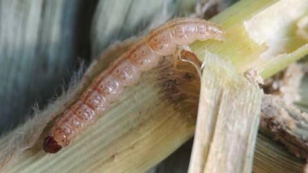Nagyon magas a kukoricamoly fertőzőttség