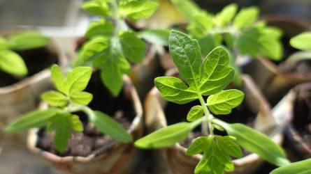 A jó növénykondíció a palántaneveléssel indul