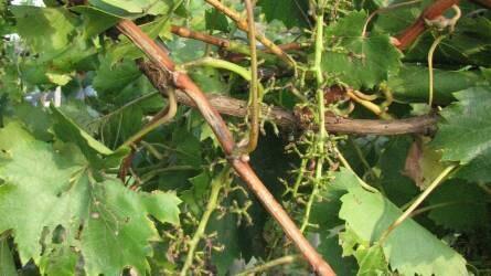 Mit tegyünk a madárkár megelőzésére a szőlőben?