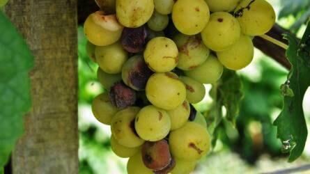 Növényvédelmi előrejelzés: a szőlő már csak szürettel menthető