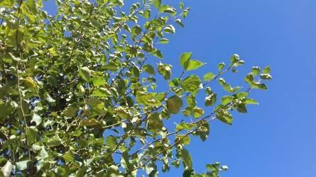 Mitől foltosodott az égerfa levele?