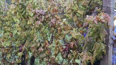 Növényvédelmi feladatok lombhullás után