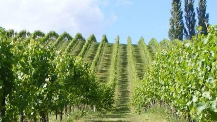 A nitrogénpótlás mértékének irányelvei szőlőültetvényekben