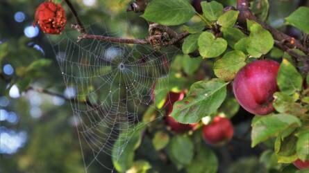 Az alma 2018. évi növényvédelmi érdekességei