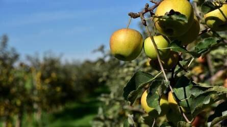 Szüret utáni tennivalók gyümölcsösökben - mezei pocok és vértetű elleni védekezés