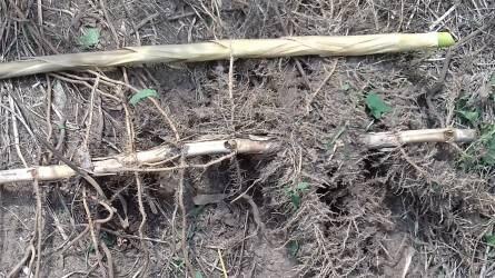 Hogy lehet a bambuszt a kertben véglegesen kiírtani?