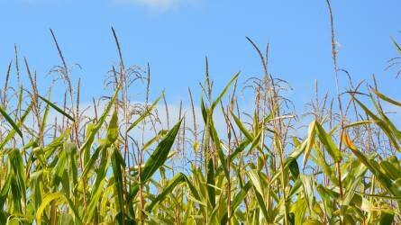 A kukorica gyomirtás aktuális kérdései