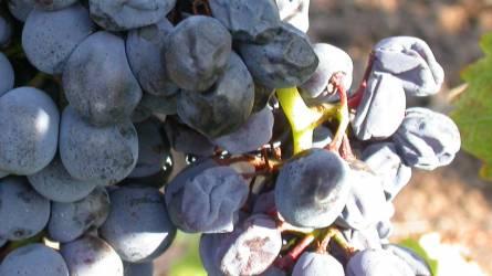 Áldás vagy átok - A szőlő szürkerothadása
