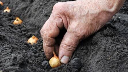 Vöröshagyma-termesztés a világon és Magyarországon