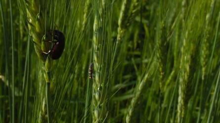 Gabonatarlók – növényvédelem