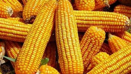 KWS új generációs kukoricahibridek 2019-ben! (Kapeller Zoltán, Mezőszilas)