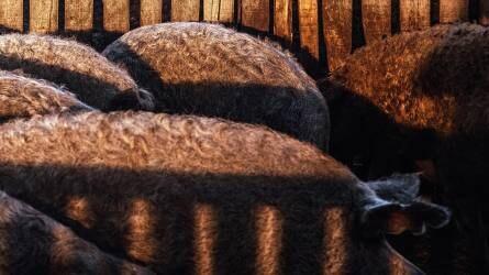 Mangalicák nélkül is van élet, de az nem olyan