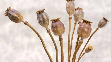 A mákról és termesztéséről