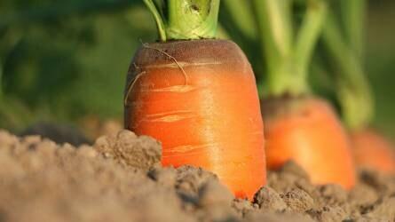 Nagyot drágult a sárgarépa és a petrezselyem - Zöldség- és gyümölcsárak a nagybani piacról