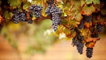 Földközeli és drónos távérzékelési mérések a szőlészetben