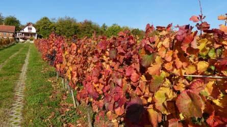 A szőlő növényvédelmét érintő változások az elmúlt évtizedek tükrében