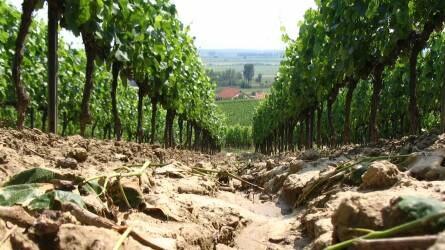 Szalmatakarás a szőlőben