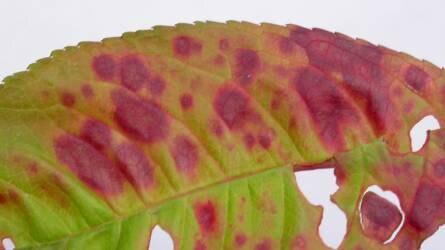 A gyümölcstermő növények levéllikacsosságáért felelős tényezők
