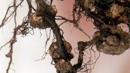 Mik lehetnek a gyümölcsfaoltvány gyökérzetén látható csomók, daganatok?