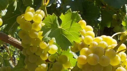 Lengyelország egy új szőlő- és bortermelő ország?
