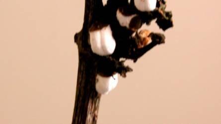 Mi okozhatja fehér csomók kialakulását a szőlővesszőkön?