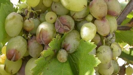 A szőlő termésének rothadása