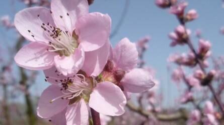A gyümölcsfák és gyümölcstermő cserjék hidegigénye