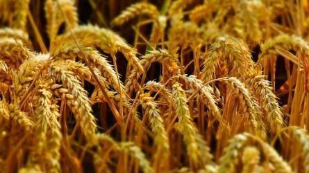 Búzapiac: szűk mozgástér maradt a drágulásra