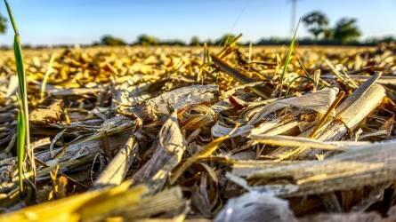 Terményárak: a kukorica jegyzése sem csökkent