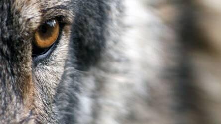 Megint lelőttek egy farkast a Bükkben, keresik az elkövetőt