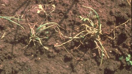 Mi károsítja még késő ősszel is a hagymát?
