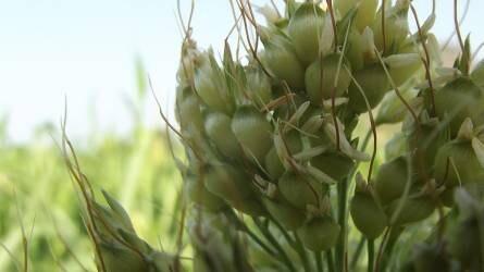 Száraknázó lepkék elterjedése és jelentőségük a világ kukoricatermesztésében