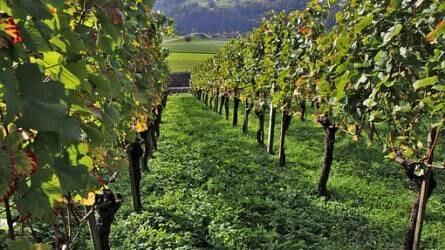 Modern borok ősi génállományú szőlőfajtákból