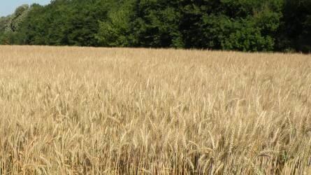 A szalma szerepe a talajerő-gazdálkodásban