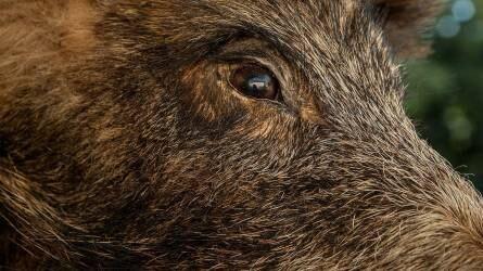 Több száz afrikai sertéspestis miatt elhullott vaddisznót találtak Budakeszin