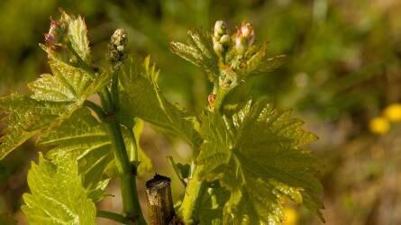 Magyarországon használt szőlőalanyfajták