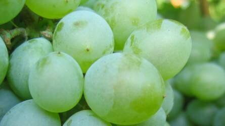 Különleges szőlők a pécsi gyűjteményben