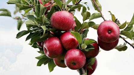 Nem tolonganak a felvásárlók az almáért