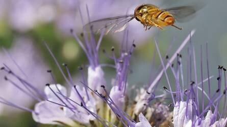 Gondolatok a mézontófű termesztéséről