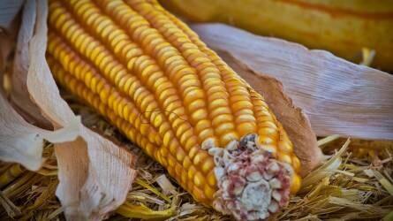 Fél százalékkal csökkent a kukorica ára