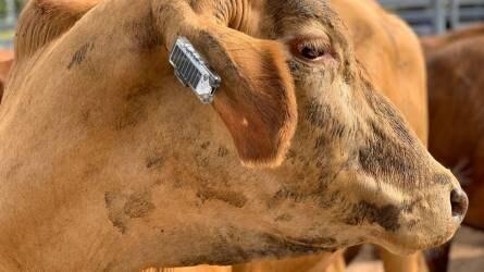 Napelemes fülbevalót fejlesztettek ki a szarvasmarhák ellenőrzéséhez