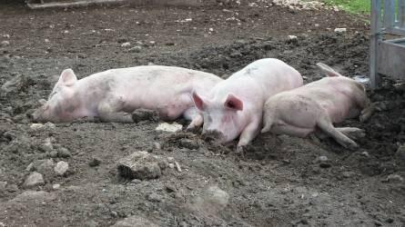 Romániában tovább terjed az afrikai sertéspestis