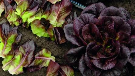 Új fogyasztói igények és nemesítési szempontok a salátatermesztés területén