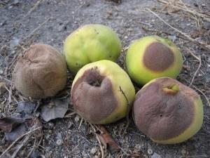 Mi okozza barna foltok kialakulását a birsalmán?