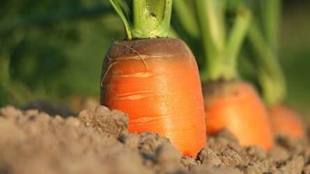 Gyökérzöldségfélék termesztésének lehetőségei környezetkímélő módszerrel